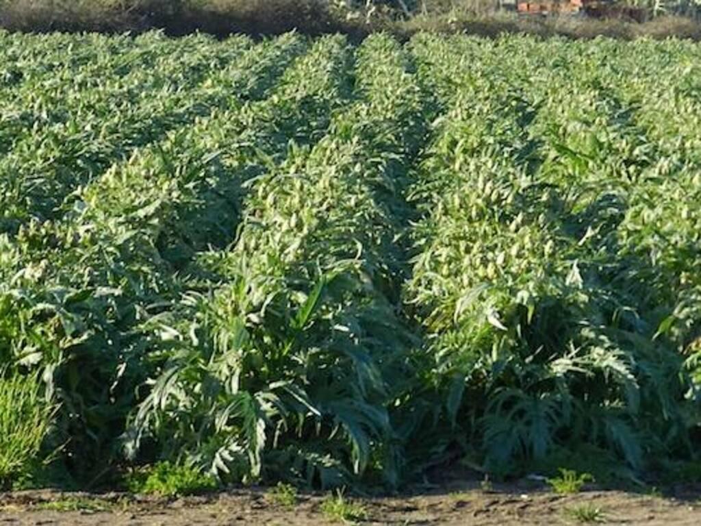 Carciofi - Agricoltura - Massama