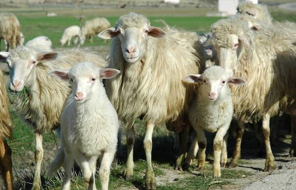 Agnelli Pecore