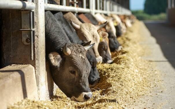 Mucche Vitelli bovini stalla zootecnia