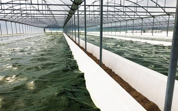 coltivazione alghe arborea