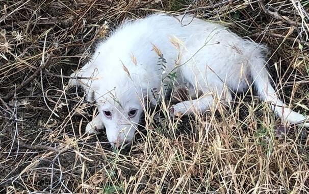 Cuglieri - Santa Caterina - cagnolino salvato in strada