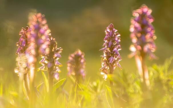 orchidee_spontanee