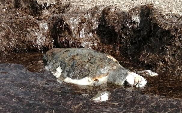 Sa Rocca Tunda tartaruga Careta careta
