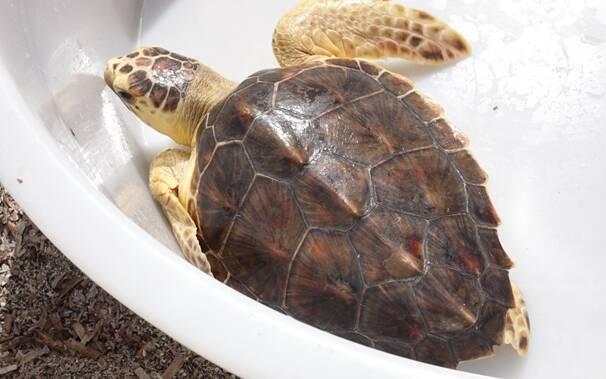 tartaruga curata a Cabras liberata