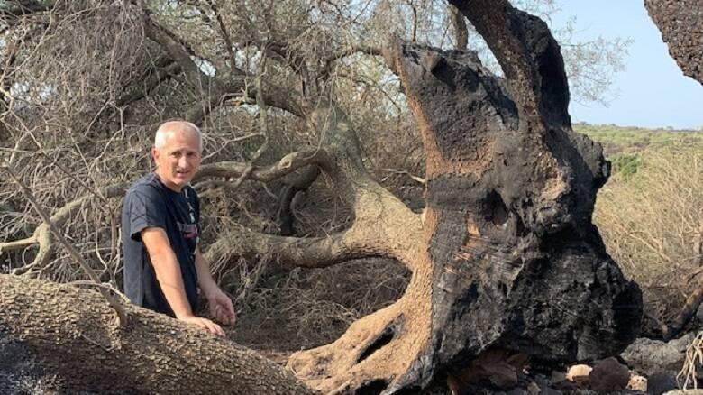 Il sopralluogo all'ulivo millenario del Gianluigi Bacchetta, direttore dell'Orto Botanico dell'Università di Cagliari