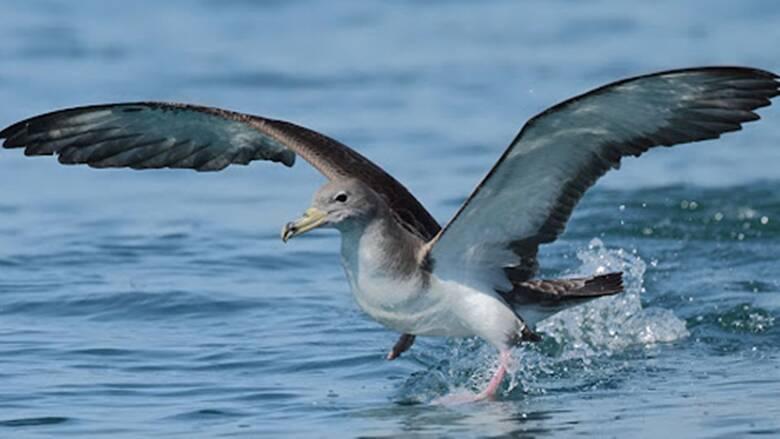 Berta - uccello marino - Foto lipu.it