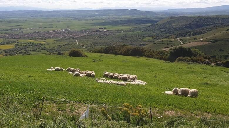 Marmilla - pecore